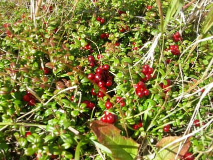 Kamchatka. Here it is, cowberry.