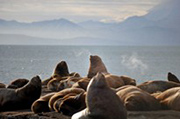 Russia in Asia: Kamchatka, winter. Adventure tour. Sea lions
