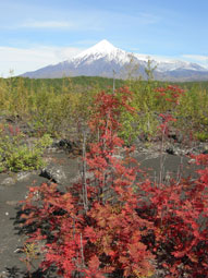 Adventure tour: Kamchatka. It is Autumn in Kamchatka. Red currant grows in volcanic slag